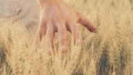 SLO MO Hand caressing wheat plants in the field video