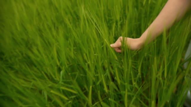 HD: Hand Caressing Wheat video