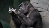 Hand caring of a gorilla female, very muscular monkey with mighty and calloused fingers. video