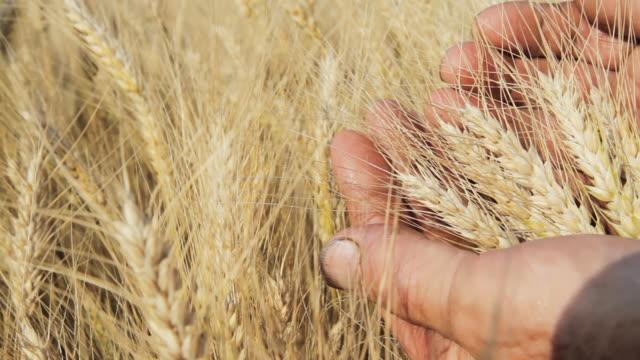 HD: Hand Examining The Wheat video