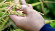 Hand farmer checking grain grow at paddy field, Slow motion video