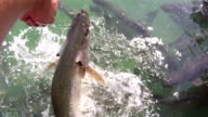 Hand Feeding Fish video