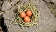 hand gather egg nest video