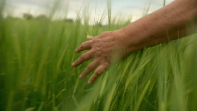 HD: Hand Going Through Wheat video