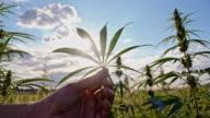SLO MO Hand holding a hemp leaf video