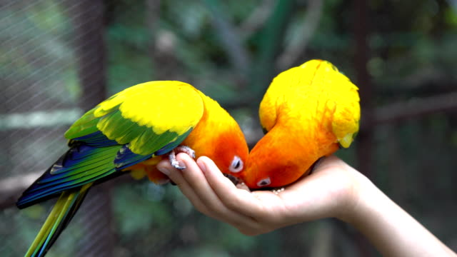 Hand Holding and Feeding Parrots - Animal Care Concept. video