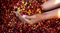 Hand holding coffee berry,Slow motion video