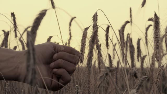 HD: Hand Holding Wheat video