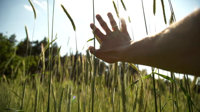 Hand of farmer touching Spikelets of wheat field on sunset video