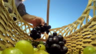 Hand of senior woman putting bunches of white and black grapes in basket video