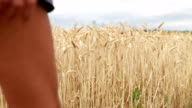 Hand of woman touching the wheat in field enjoying feeling video