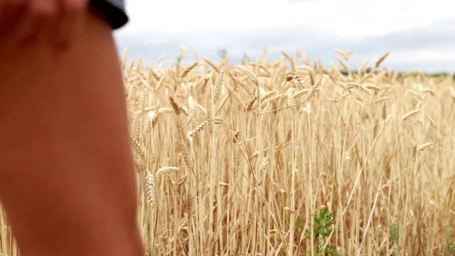 Hand of woman touching the wheat in field enjoying feeling video