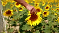 Hand of young woman touching the sunflowers in the field video