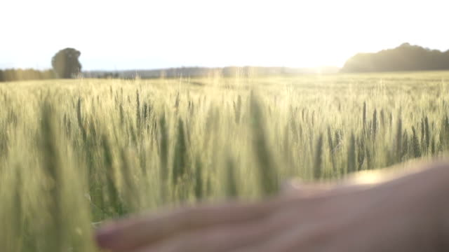 SLOW MOTION: Hand passing over wheat video