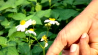 Hand pick chamomile herbal flower blooms to wooden wicker dish in garden Slow motion video