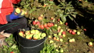 hand pick sweet red apple harvest in bucket in autumn garden. video