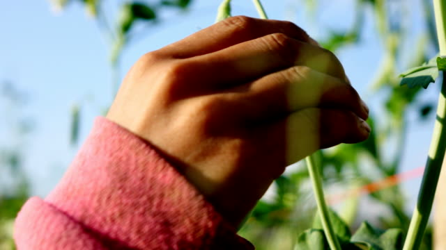 Hand picking pea,Slow motion video