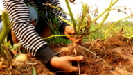 Hand pulling a potato from the soil video