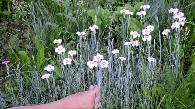 hand reaps a nice white flower from the flower hump video