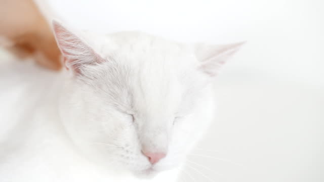 Hand stroking head of white cat. video