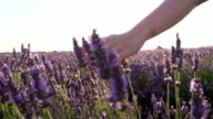 SLOW MOTION CLOSE UP: Hand touching purple flowers in beautiful lavender field at golden sunset video