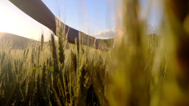Hand touching the wheat video
