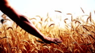 Hand touching wheat crop plant video