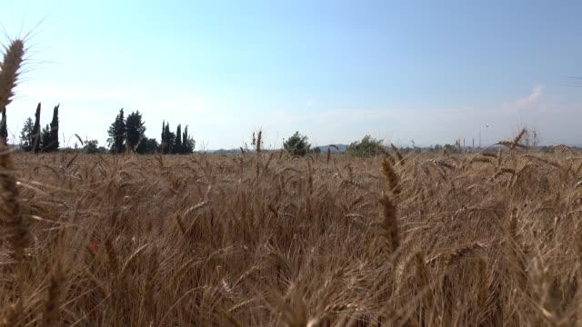 Hand Touching Wheat video