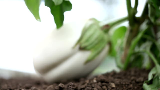 Hand with tools work the soil in the vegetable garden of white eggplant video