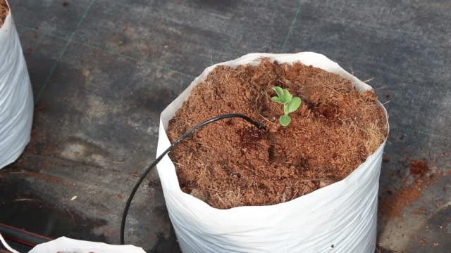 hand women transplant watermelon seedling on coco peat. video