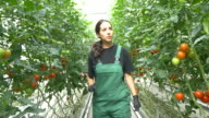 Handheld shot of farmer examining tomato plants video