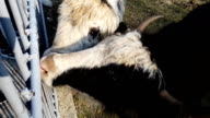 Hands are fed with cabbage of two yaks in yard of Teberda reserve. Close-up video