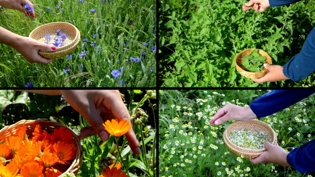 Hands gather herb plants. Alternative medicine. Clips collage video