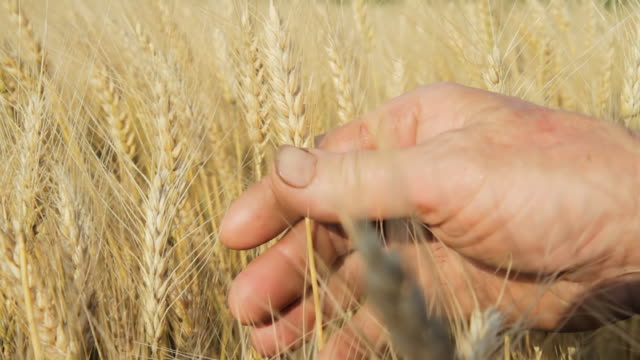 HD DOLLY: Hands Holding Wheat Stalks video