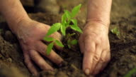 Hands planting green seedling video