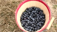 Hands putting blueberries into bucket video