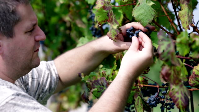 HD: Hands struggling to remove grapes from vines video
