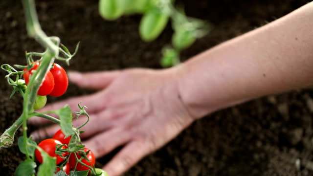 Hands work The soil of cherry tomatoes cure the vegetable garden video