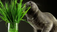 Happy cat eating fresh green grass on gray background video