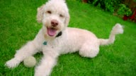 Happy dog lying down on grass. White labradoodle resting on green grass video