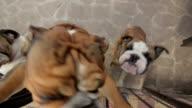 happy english bulldog jumping on camera video