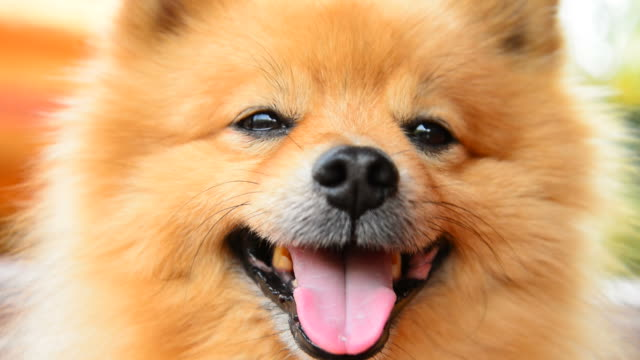 Happy Face Pomeranian Dog video