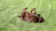 Happy Labrador retriever rolling on grass video
