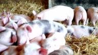 Happy piglets in straw video