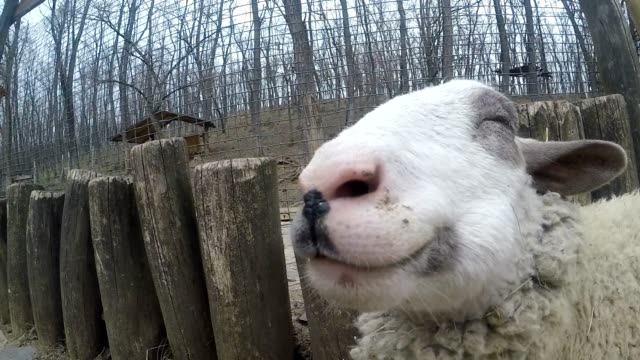 Happy sheep chewing dry grass video