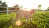 CLOSE UP: Happy young puppy dog jumping freely around on countryside farm ranch video