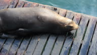 Harbour Seal video