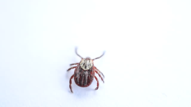 Hard tick crawling on white background out of frame video