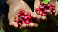 A hard working farmer holds the coffee cherries he recently picked in his hands, and pours them into his bucket in slow motion. These cherries are then dried and the pulp is removed. This is what your coffee starts like! video