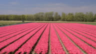 AERIAL: Hardworking gardener on tulip flower field working on sunny spring day video
